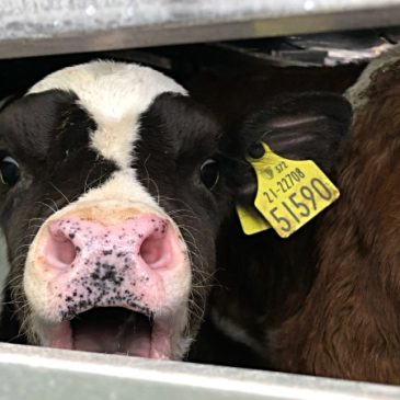 ACTION ALERT – our farm animals need you!