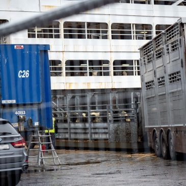 Live export fatalities: the perils of transporting live animals